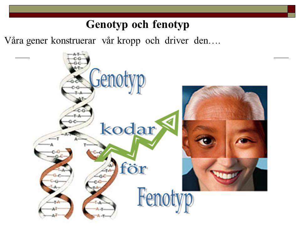 Genotyp och fenotyp Våra gener konstruerar vår kropp och driver den….