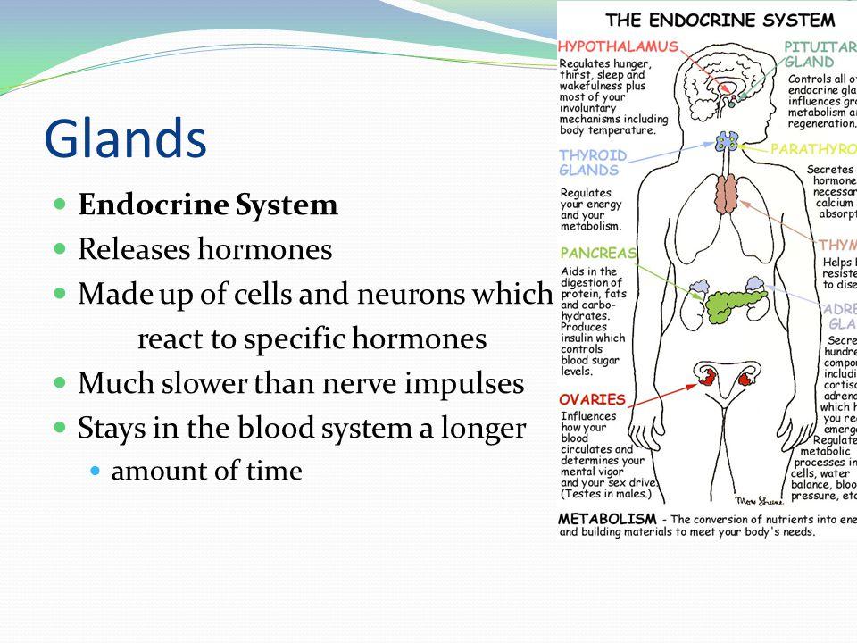 Glands Endocrine System Releases hormones