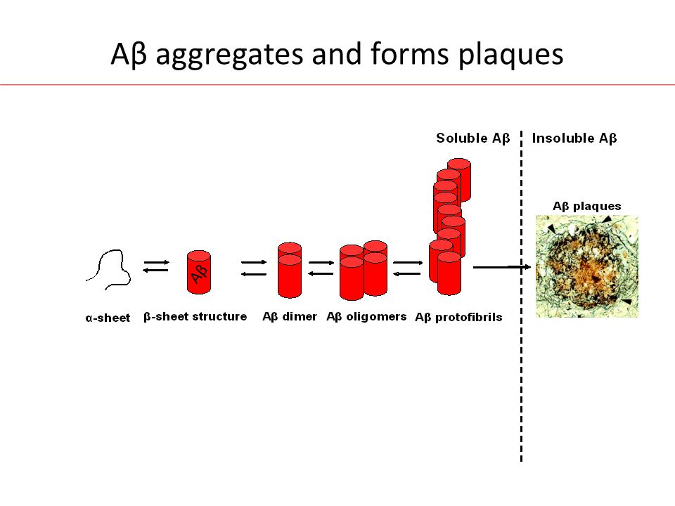 Aβ aggregates and forms plaques