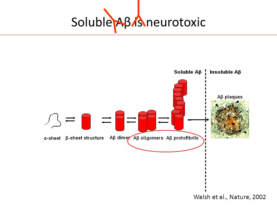 Soluble Aβ is neurotoxic