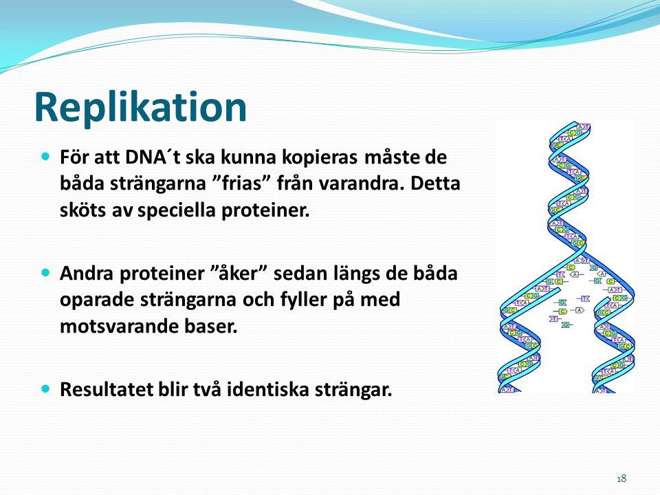 Replikation För att DNA´t ska kunna kopieras måste de båda strängarna frias från varandra. Detta sköts av speciella proteiner.
