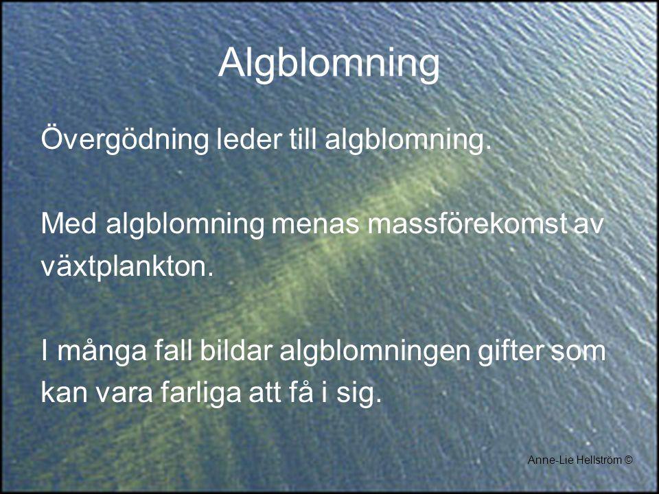 Algblomning Övergödning leder till algblomning.