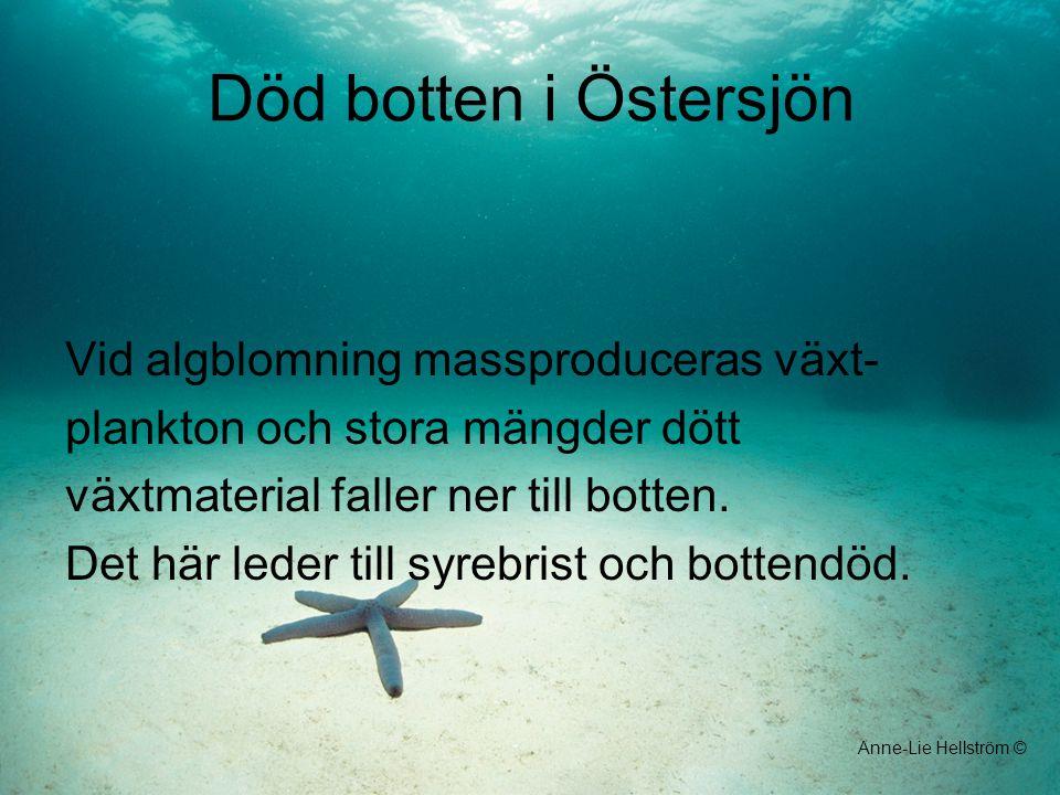 Död botten i Östersjön Vid algblomning massproduceras växt-