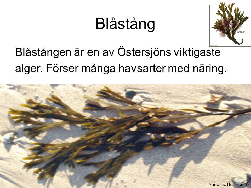 Blåstång Blåstången är en av Östersjöns viktigaste