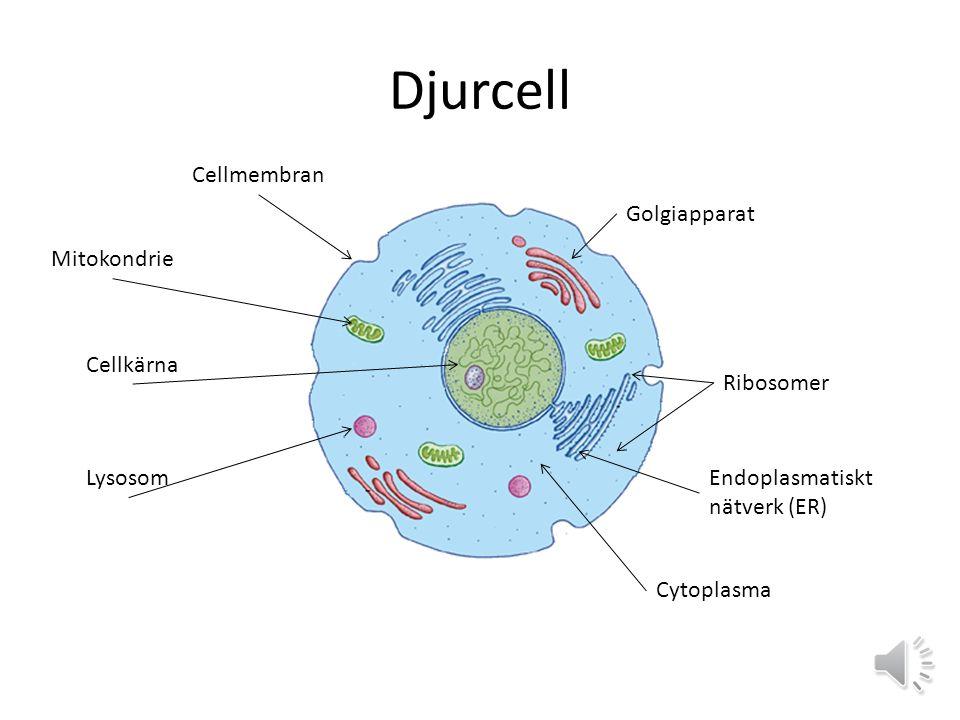 Djurcell Cellmembran Golgiapparat Mitokondrie Cellkärna Ribosomer