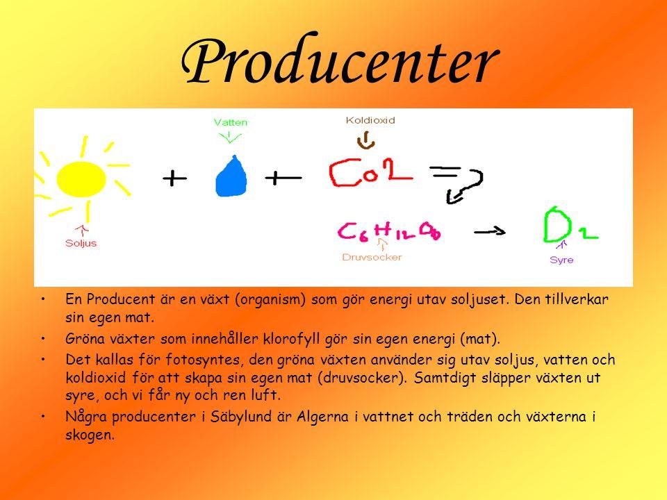 Producenter En Producent är en växt (organism) som gör energi utav soljuset. Den tillverkar sin egen mat.
