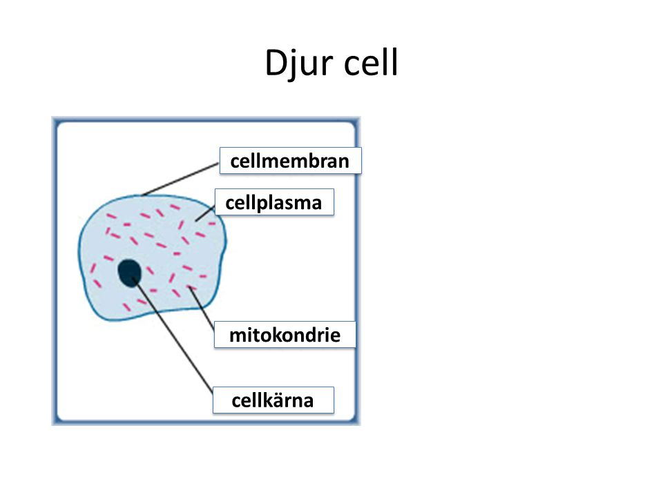 Djur cell cellmembran cellplasma mitokondrie cellkärna