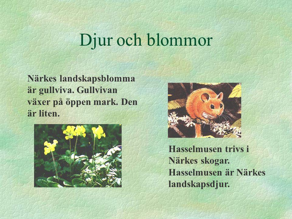 Djur och blommor Närkes landskapsblomma är gullviva. Gullvivan växer på öppen mark. Den är liten.