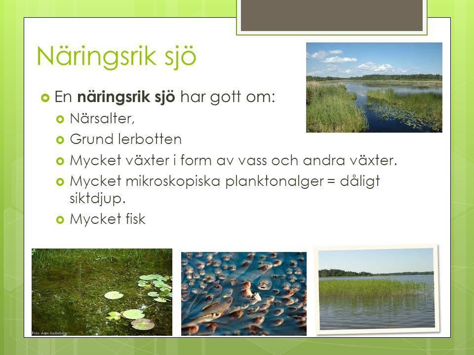 Näringsrik sjö En näringsrik sjö har gott om: Närsalter,