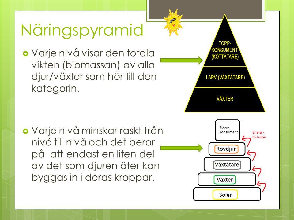 Näringspyramid Varje nivå visar den totala vikten (biomassan) av alla djur/växter som hör till den kategorin.