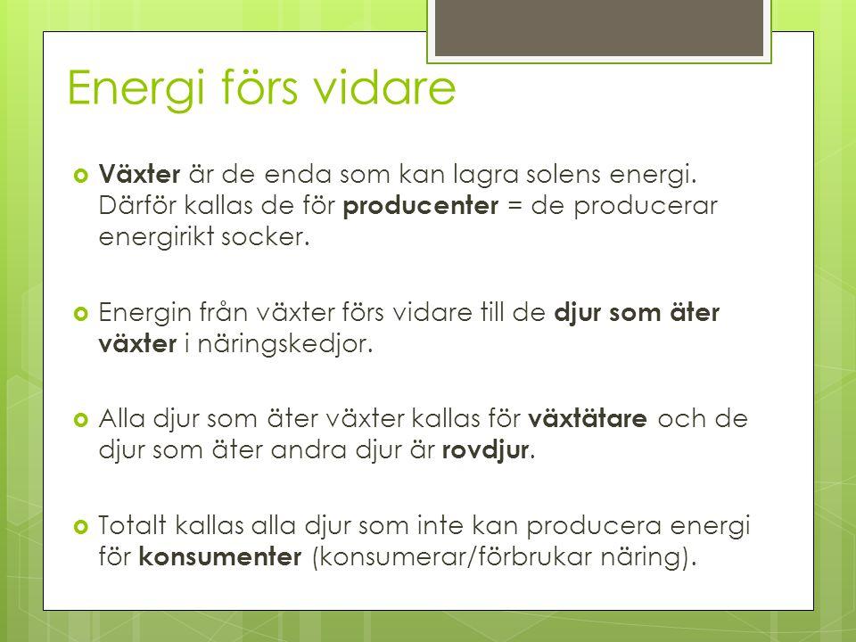 Energi förs vidare Växter är de enda som kan lagra solens energi. Därför kallas de för producenter = de producerar energirikt socker.