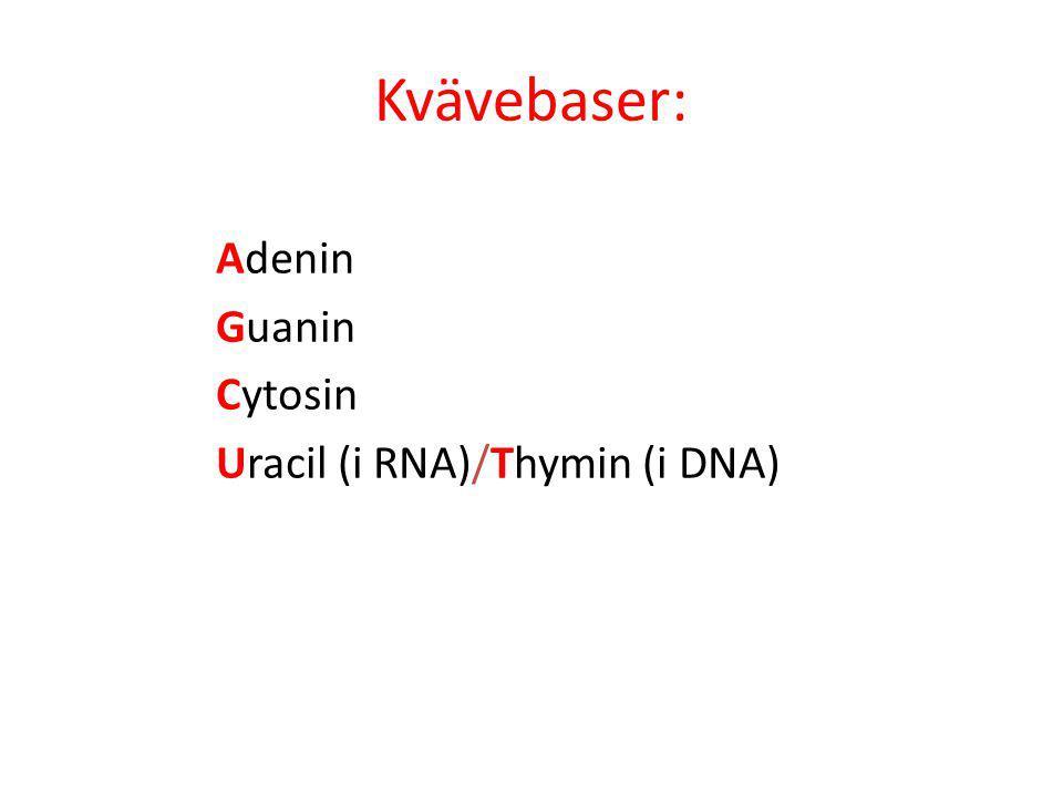 Kvävebaser: Adenin Guanin Cytosin Uracil (i RNA)/Thymin (i DNA)