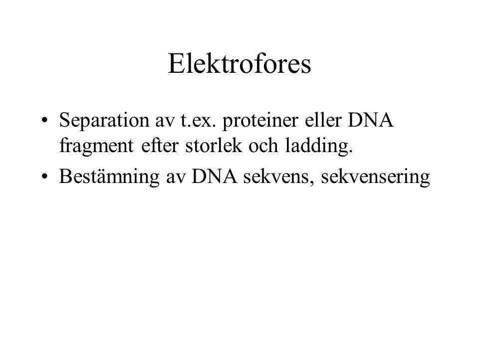 Elektrofores Separation av t.ex. proteiner eller DNA fragment efter storlek och ladding.