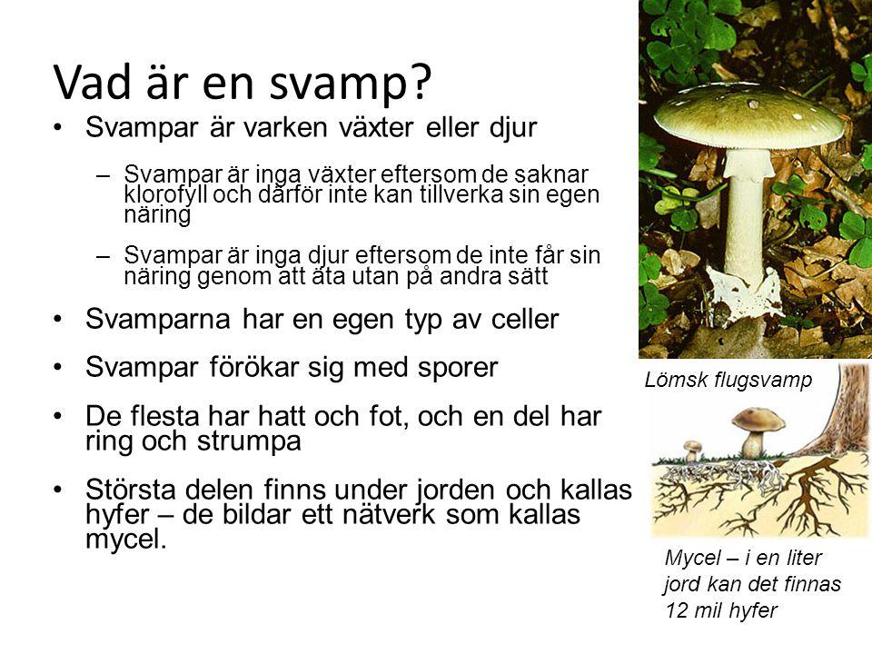 Vad är en svamp Svampar är varken växter eller djur