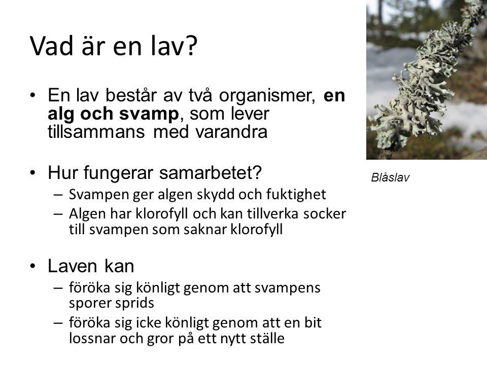 Vad är en lav En lav består av två organismer, en alg och svamp, som lever tillsammans med varandra.