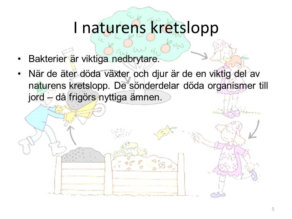 I naturens kretslopp Bakterier är viktiga nedbrytare.