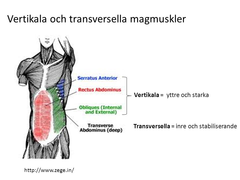 Vertikala och transversella magmuskler