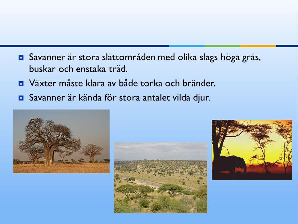 Savanner är stora slättområden med olika slags höga gräs, buskar och enstaka träd.