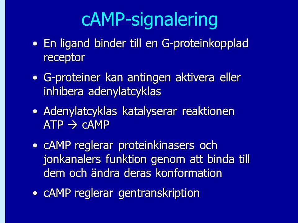 cAMP-signalering En ligand binder till en G-proteinkopplad receptor