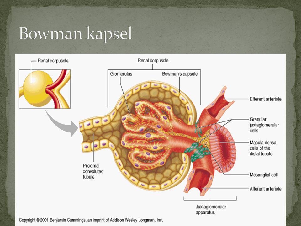 Bowman kapsel