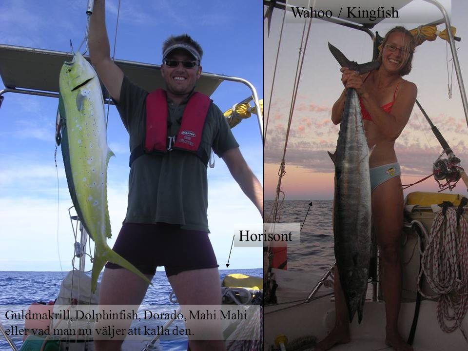 Wahoo / Kingfish Horisont