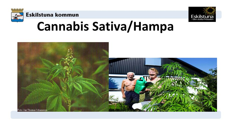 Cannabis Sativa/Hampa