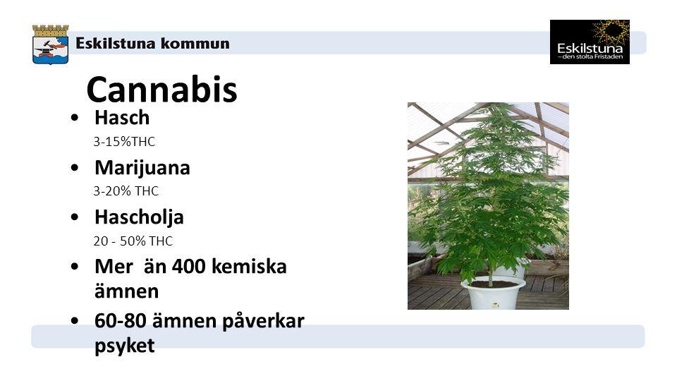 Cannabis Hasch Marijuana Hascholja Mer än 400 kemiska ämnen