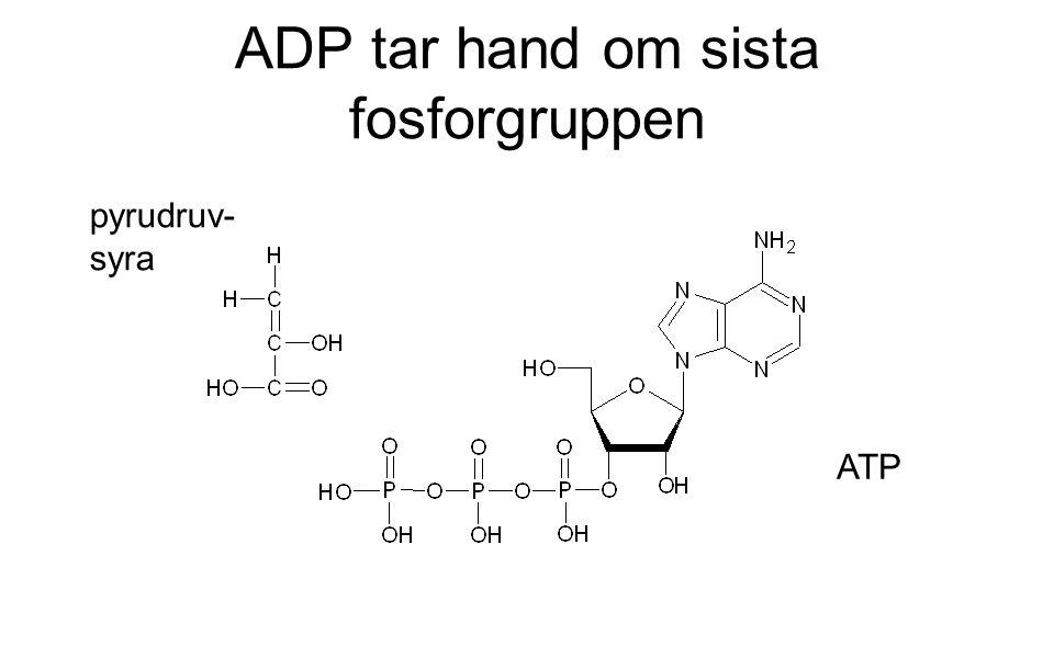 ADP tar hand om sista fosforgruppen