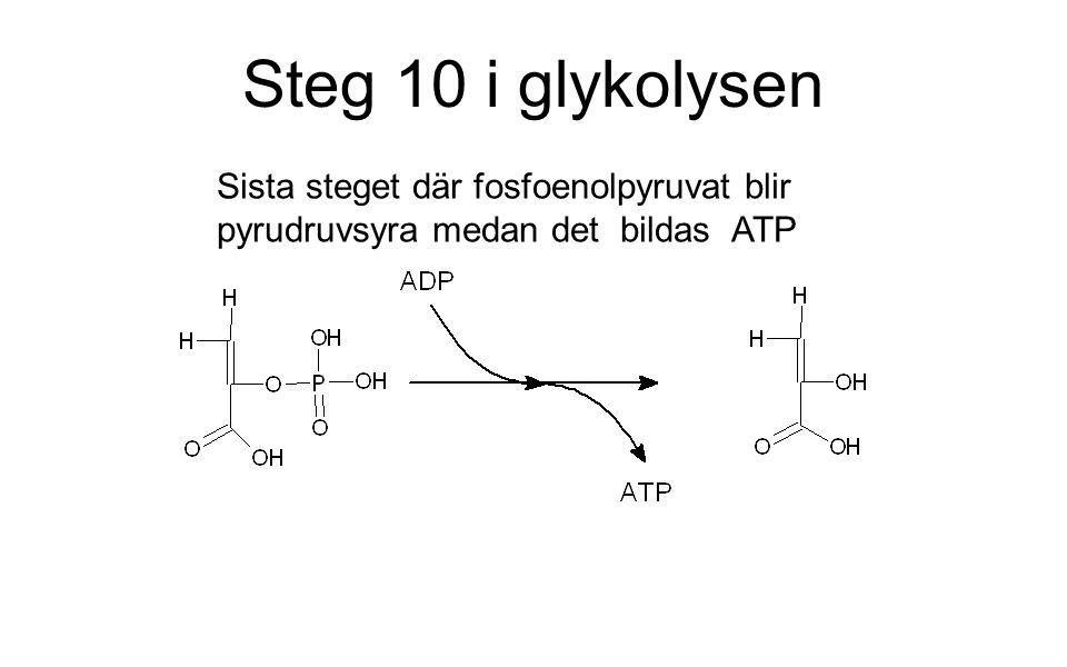 Steg 10 i glykolysen Sista steget där fosfoenolpyruvat blir pyrudruvsyra medan det bildas ATP