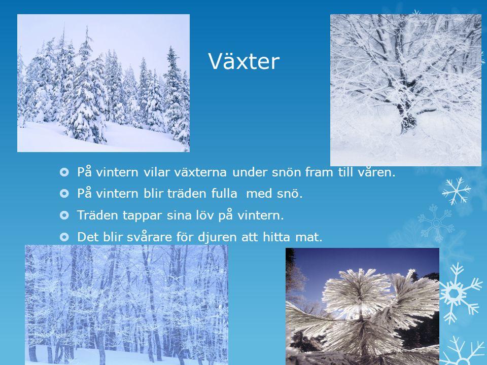 Växter På vintern vilar växterna under snön fram till våren.