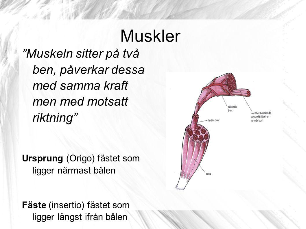 Muskler Muskeln sitter på två ben, påverkar dessa med samma kraft men med motsatt riktning Ursprung (Origo) fästet som ligger närmast bålen.