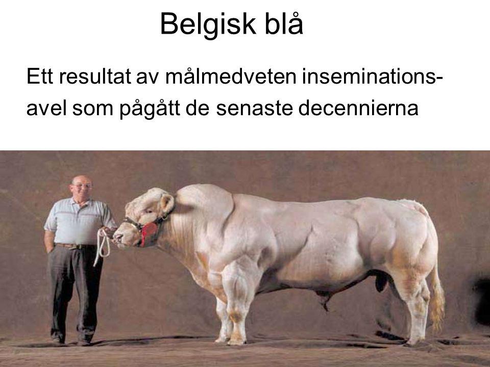 Belgisk blå Ett resultat av målmedveten inseminations-
