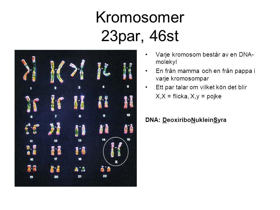 Kromosomer 23par, 46st Varje kromosom består av en DNA-molekyl