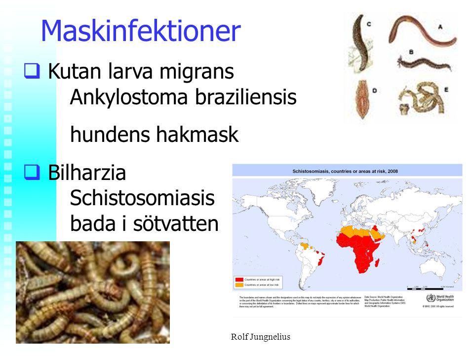 Maskinfektioner Kutan larva migrans Ankylostoma braziliensis