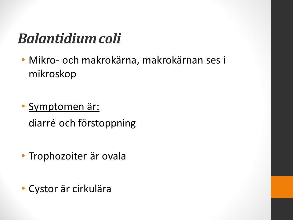Balantidium coli Mikro- och makrokärna, makrokärnan ses i mikroskop