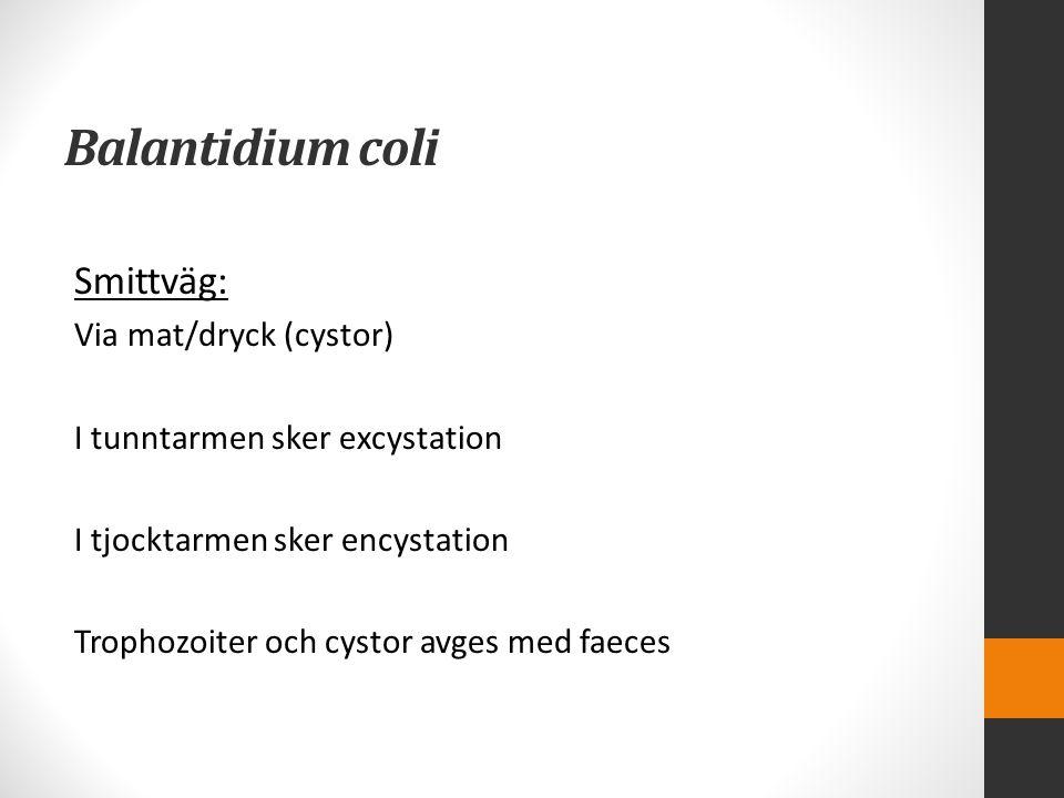Balantidium coli Smittväg: Via mat/dryck (cystor)