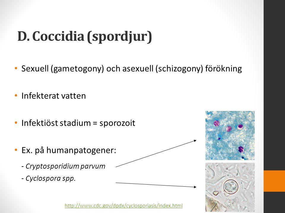 D. Coccidia (spordjur) - Cryptosporidium parvum