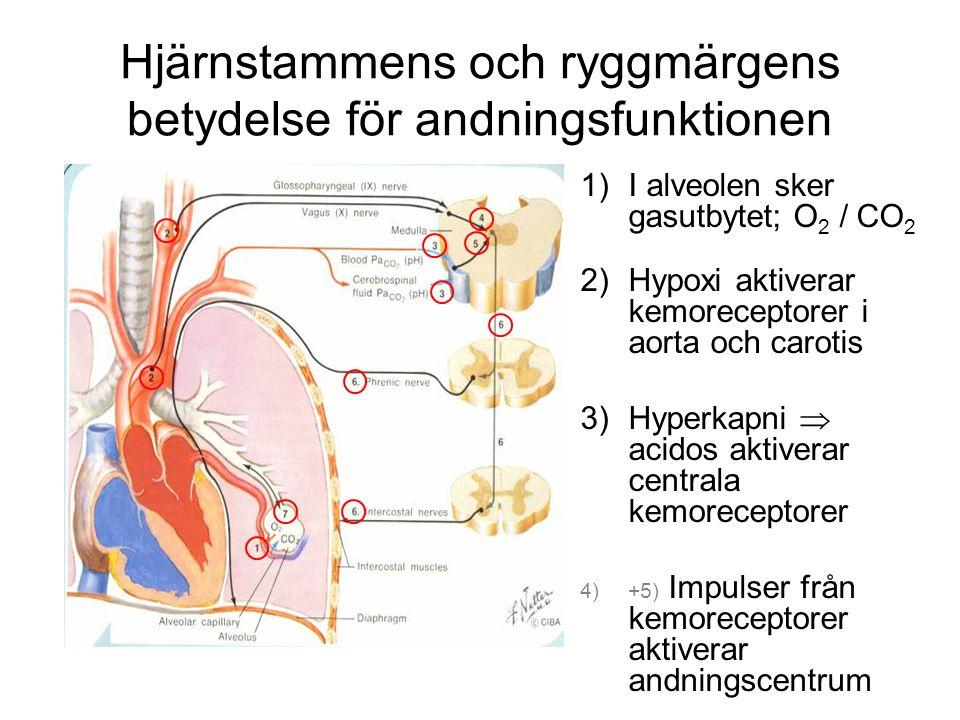 Hjärnstammens och ryggmärgens betydelse för andningsfunktionen
