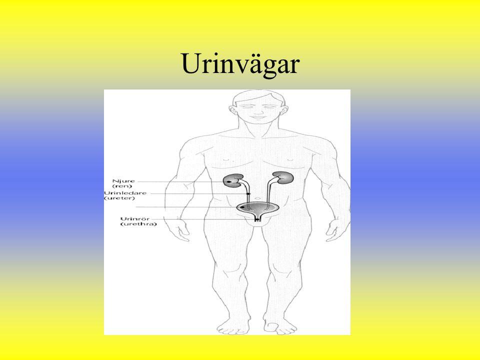 Urinvägar
