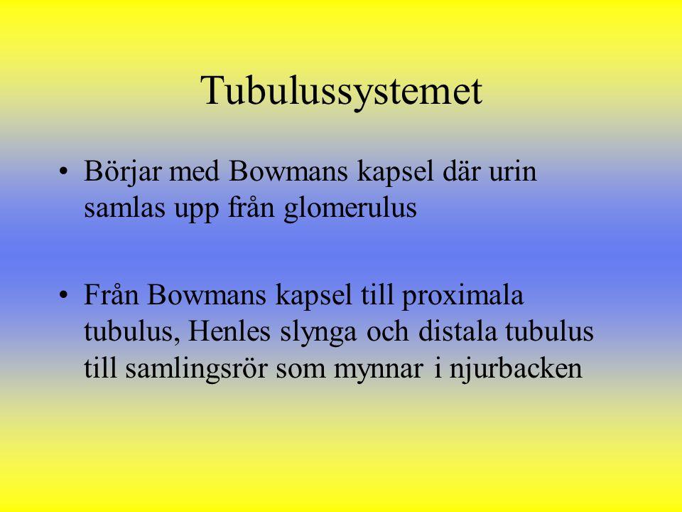 Tubulussystemet Börjar med Bowmans kapsel där urin samlas upp från glomerulus.