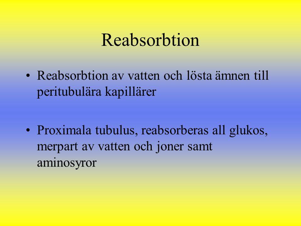 Reabsorbtion Reabsorbtion av vatten och lösta ämnen till peritubulära kapillärer.