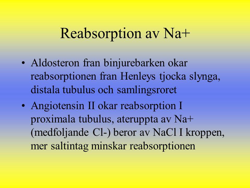 Reabsorption av Na+ Aldosteron fran binjurebarken okar reabsorptionen fran Henleys tjocka slynga, distala tubulus och samlingsroret.