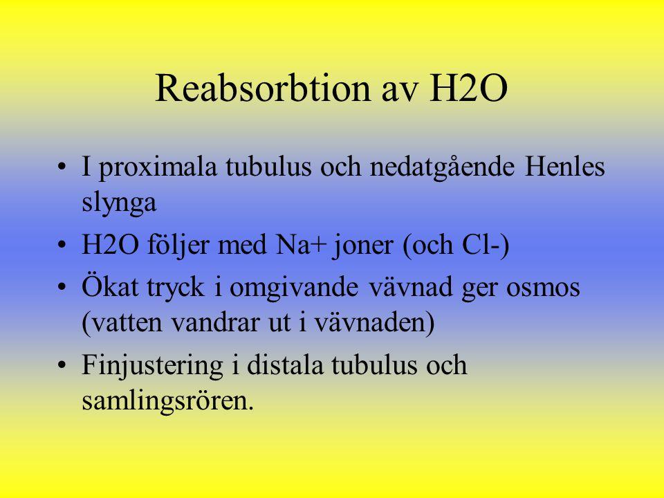Reabsorbtion av H2O I proximala tubulus och nedatgående Henles slynga