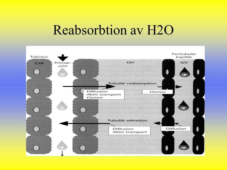 Reabsorbtion av H2O