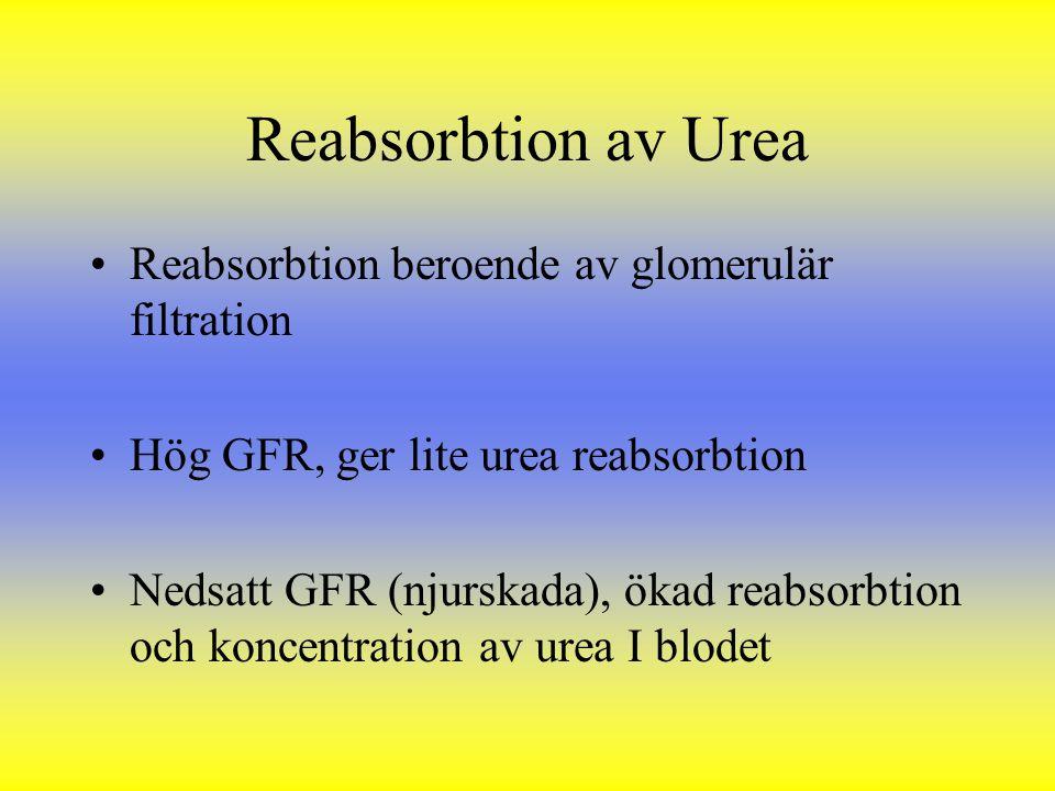 Reabsorbtion av Urea Reabsorbtion beroende av glomerulär filtration
