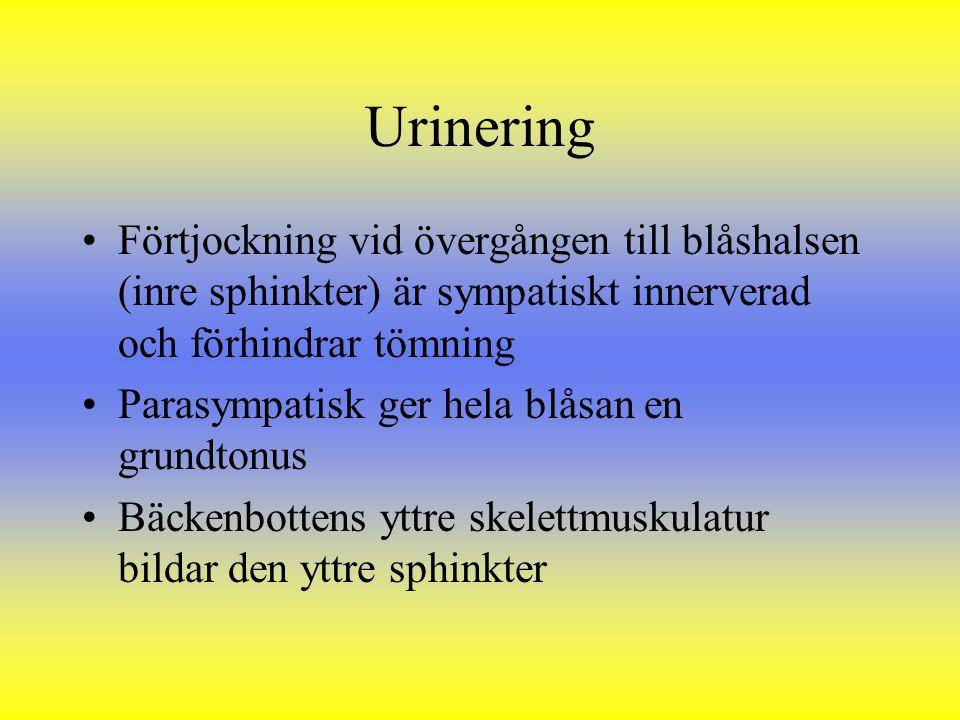 Urinering Förtjockning vid övergången till blåshalsen (inre sphinkter) är sympatiskt innerverad och förhindrar tömning.