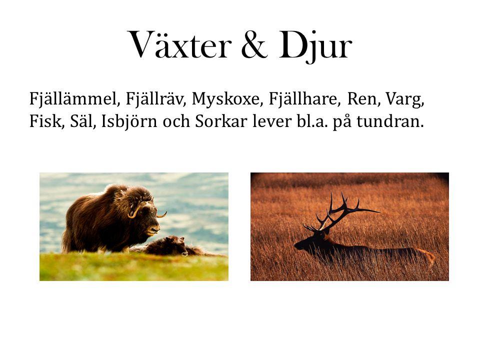 Växter & Djur Fjällämmel, Fjällräv, Myskoxe, Fjällhare, Ren, Varg, Fisk, Säl, Isbjörn och Sorkar lever bl.a.