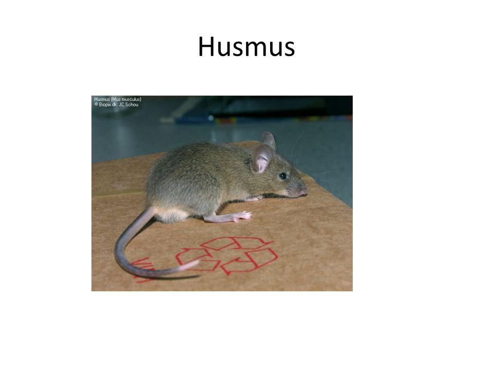 Husmus