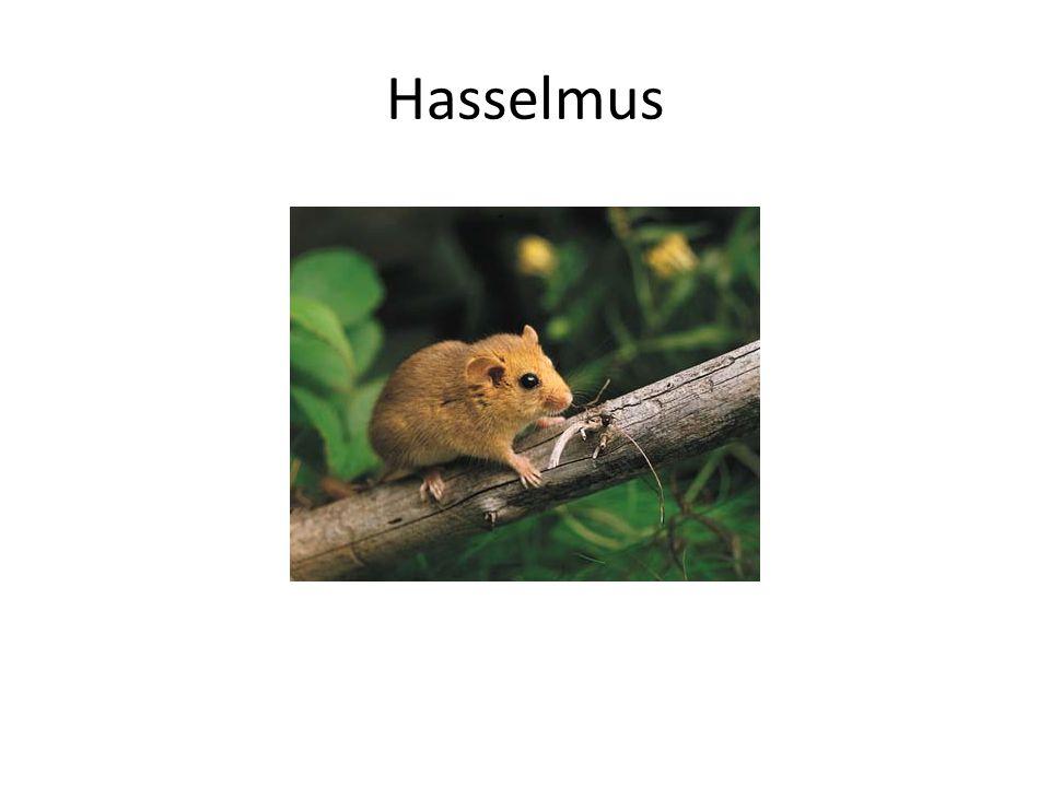 Hasselmus