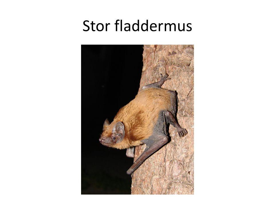 Stor fladdermus